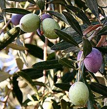 220px-Olivesfromjordan