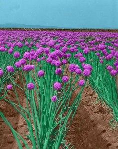 Onion-field-colorized