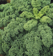 Kale, the King of the Greens – Leafy Green Kale That is (3/6)