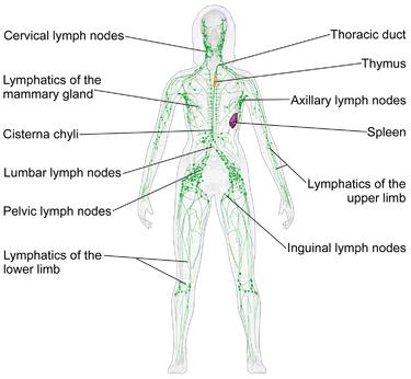 lymph2
