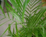 bamboo_palm