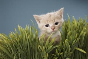 cat wheat grass