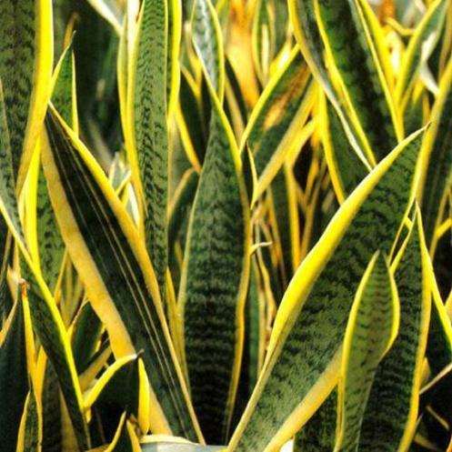 snake-plant_jpg_cf