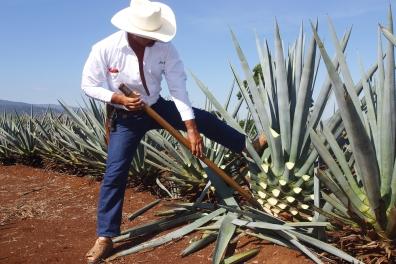 Farmer Harvesting Agave