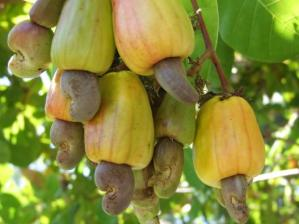 Cashew_Fruit_1