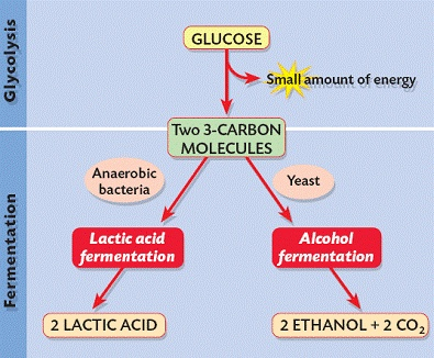 Fermentation diagram of stages
