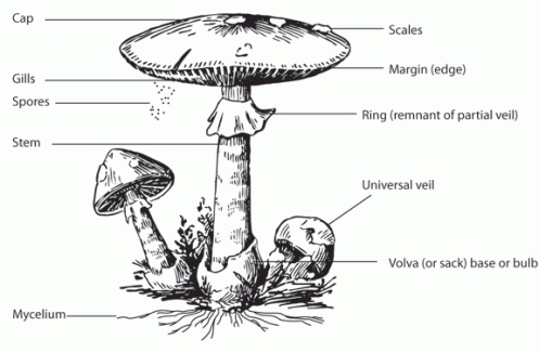 parts-of-a-mushroom