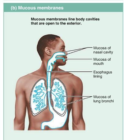 mucous_membrane1359486632176